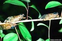 Periodical Cicadas in PA