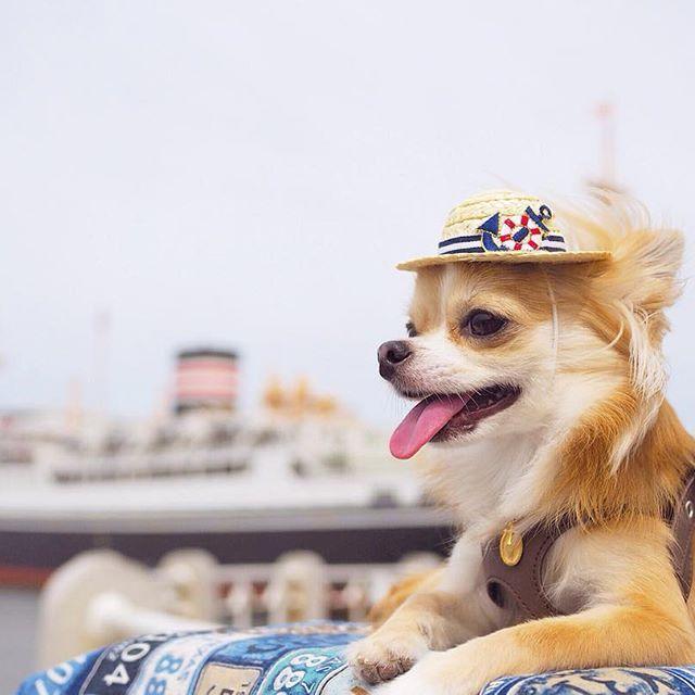 今日もまだまだ横浜pic!笑 ・ ・ 海と氷川丸とちび♡ この後暑くて赤レンガまでシーバスのれば良かったって後悔‼︎笑 シーバスはわんこOKらしいです☻ ・ ・ ・ ※Dog goods Shop Petit Chien※ ショップアカウント⇩ @petitchien2016 ・ ・ OLYMPUS OMD EM10 markⅡ M.ZUIKO DIGITAL 25mm F1.8 ・ #chihuahua#dog#instadog#dogstagram#instapet#pet#petstagram#instagood#instalike#mydog#lovemydog#dogsofinstagram #dogfashion#doggy#east_dog_japan #犬バカ部#愛犬#チワワ#ロンチー #ペット#ロングコートチワワ#モデル犬  #カメラ女子#写真好きな人と繋がりたい#ファインダー越しの私の世界#一眼レフ#NIKON#iGersJP#chihuahualove_feature#pecoいぬ部