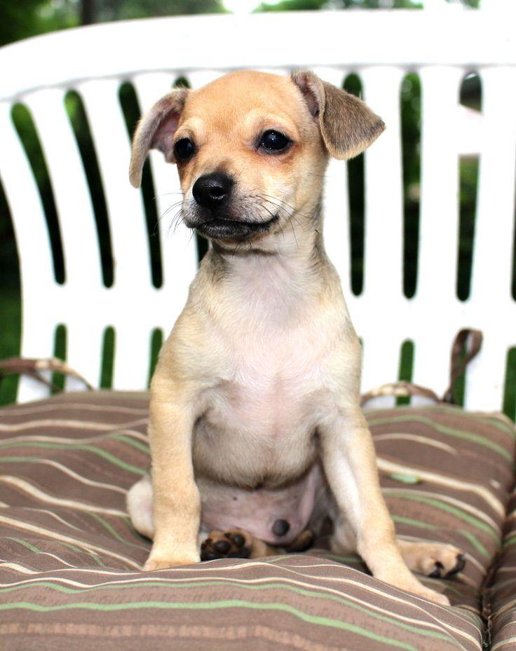 Muggin dog for Adoption in Eden Prairie, MN. ADN632398 on