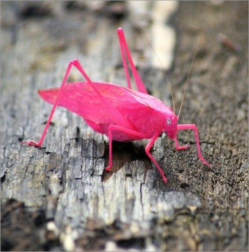 """Bild von Lisa Presley - """"Seltene rosa Laubheuschrecke auf einer Baumrinde"""""""