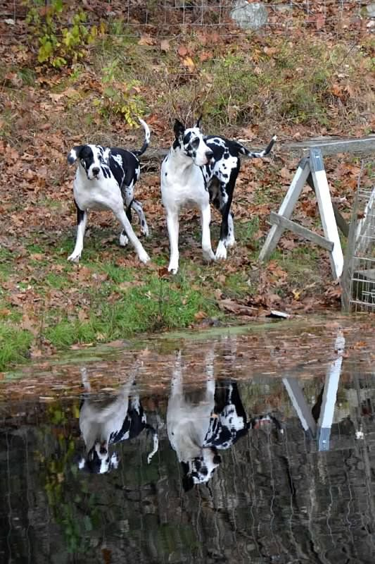 service dog project Location: ipswich, ma best viewing hours: 24/7 time zone: eastern time meet the new litter of great dane puppies born at the service dog project located in ipswich, massachusetts, the.
