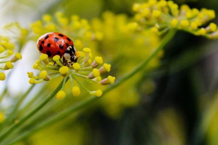 anti-puceron naturel attirant les coccinelles- le fenouil (Foeniculum Aulgare)