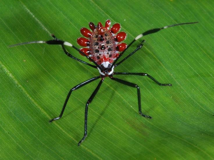 O Molchina sp. Um pequeno inseto da floresta tropical, parece uma jóia. Se alimenta de plantas (fitófago). Não é uma gracinha?