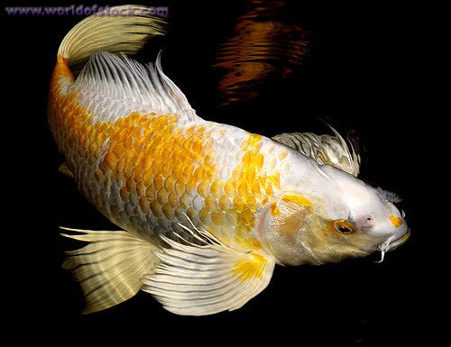 17 best images about koi fish on pinterest dollar bills for Yellow koi fish