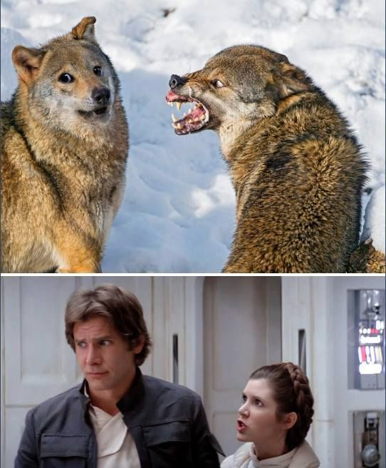Image result for snarling wolf han and leia