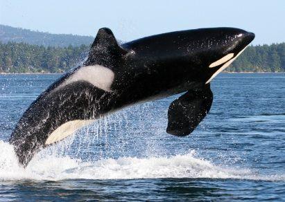 Killler whale