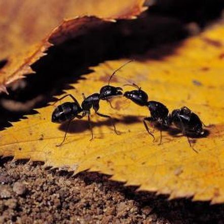 Removing ants naturally from your yard