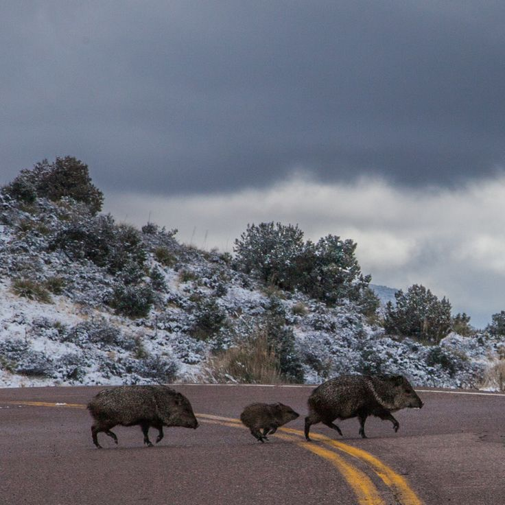 Do you think Javalina Baby deserves to win 2013 - 2014 Arizona Highways Online Photography Contest? Have your say!