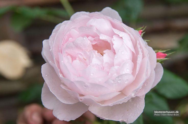 The bush rose Scepter D'isleScepter D'isle. En buskrose med den specielle myrraduft med et væld af halvfyldte rosafarvede blomster.