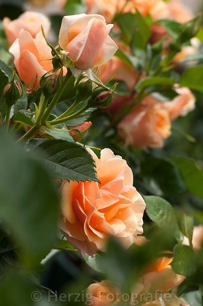 Rosa 'Olympic'