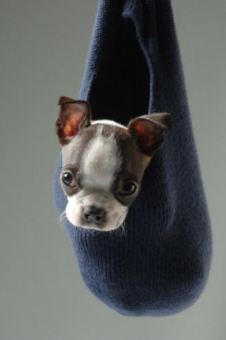 .: Boston Terriers Puppys, Boston Puppys, Teas Cups Puppys, Baby Animal, Animal Holidays, Baby Boston, Funny Boston Terriers, Teacup Puppys, Rottweilers Puppys