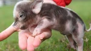 """Résultat de recherche d'images pour """"cochon nain"""""""