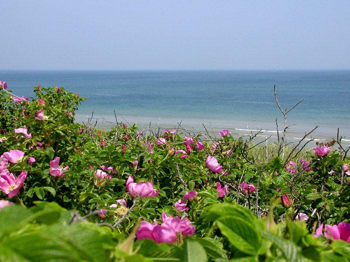Cape Cod Rose Part - 37: Where The Beach Roses Bloom And Perfume The Air | Cape Cod Beaches |  Pinterest | Coast Guard, Cod And Cape Cod Ma
