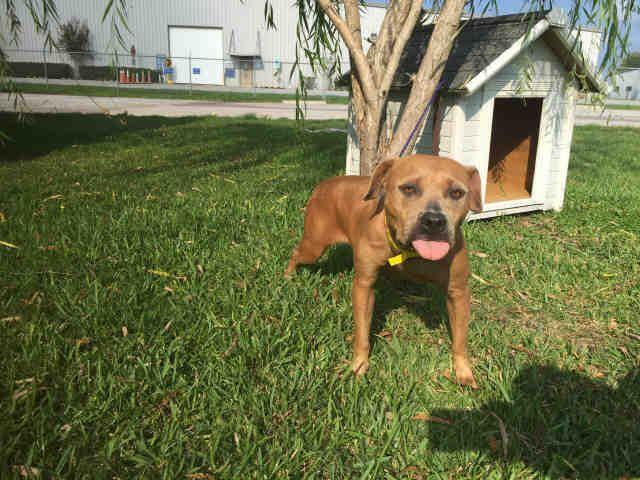 Staffordshire Bull Terrier dog for Adoption in Rosenberg, TX. ADN-650759 on PuppyFinder.com Gender: Female. Age: Adult