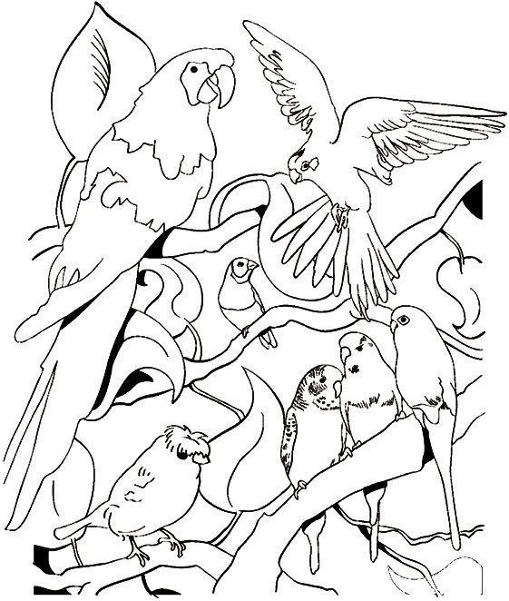 coloriage imprimer oiseaux exotiques  vogel malvorlagen