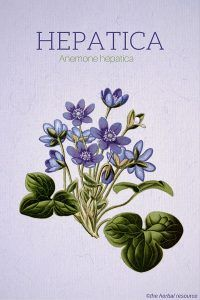 Hepatica Uses and Benefits as a Healing Plant