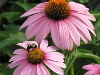 13 Terrific Native Plants for Midwest Gardens : HGTV Gardens*** GREAT ideas for Wisconsin Gardens