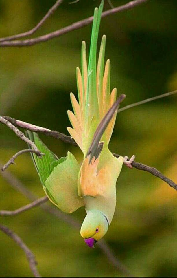 Parrot. Birds