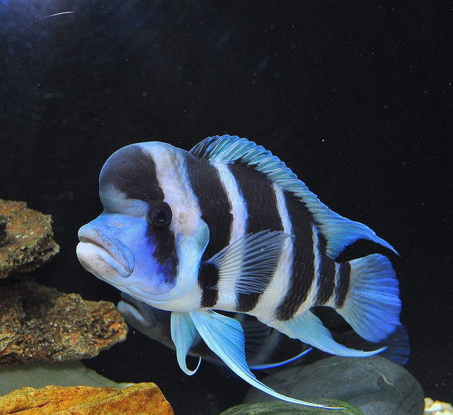 Frontosa tanganyika cichlid fish pinterest lakes for Lake tanganyika fish