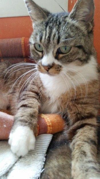 Philo, chatte de 10 ans, doit subir une extraction dentaire totale à cause d'un calicivirus récidivant. C'est urgent pour limiter les dégâts du virus et la souffrance de cette minette.