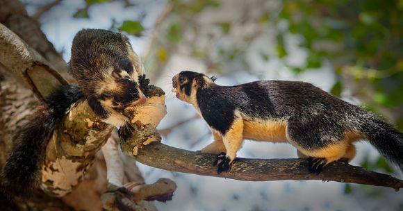 The Giant Squirrel (Ratufa macroura)