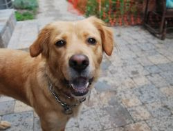 This is Barbie a 3-4 yr old Golden mix. She was picked up as a stray. She is spayed, current on vaccinations, potty and crate trained, knows basic commands. Needs leash work. No small kids. Would do best as an only dog. GRRACE, IN. http://www.grrace.org/available-goldens/post/barbie/
