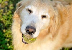 Teach Senior Dogs New Tricks to Stay Healthy #dogtraining #seniordogs