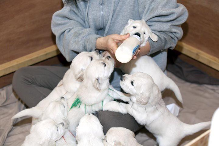White Golden Retriever Puppies,AKC Certified, NJ in 2020