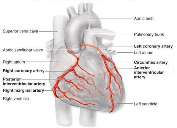 5 Major Coronary Arteries   Right coronary artery:
