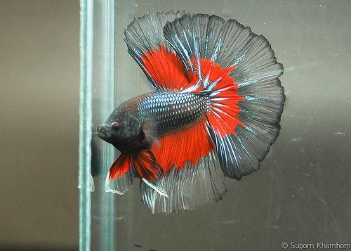 Best 25 exotic fish ideas on pinterest pretty fish for Prettiest betta fish