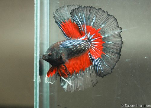 Types of betta fish the most popular plus photos for What type of water do betta fish need