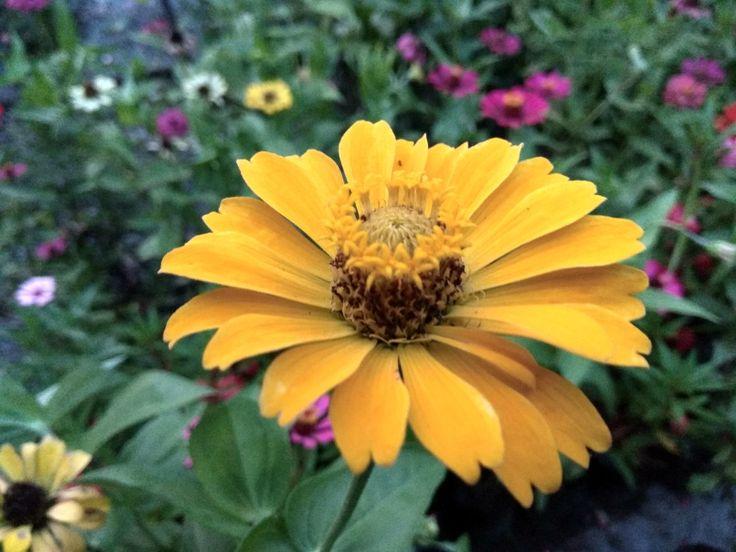 Zinnia Flower (bunga kertas)