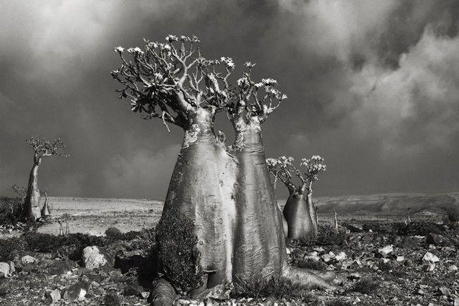 Árvores Ancestrais (5)