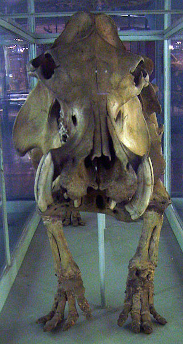 Madagascan Dwarf Hippopotamus ~~  Extinct 1976