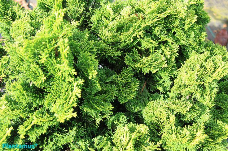 Conífera de muy lento crecimiento. Chamaecyparis obtusa nana gracilis. http://www.plantamus.es/ARBOLES-ARBUSTOS/comprar-plantas-enanas