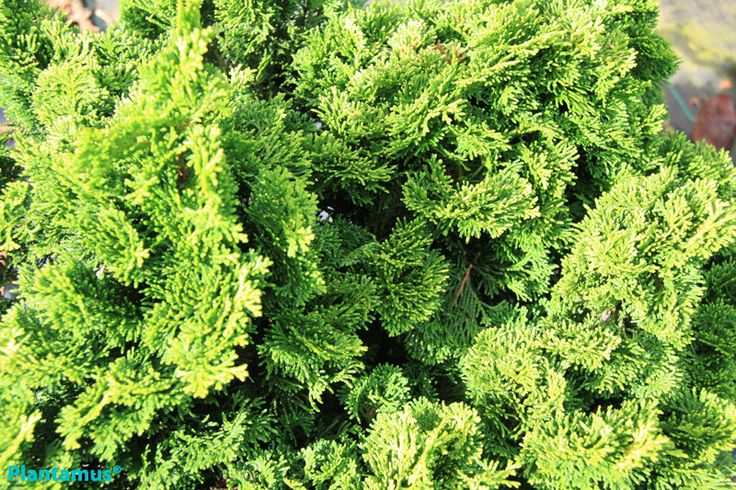 Mejores 42 im genes de jardin de coniferas en pinterest for Coniferas de jardin