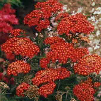 """krwawnik pospolity """"Purpurglut"""" (łac. Achillea millefolium) kod: 5465 - Szkółka bylin Bergenia – Byliny, Kwiaty, Rośliny   Sadzonki"""