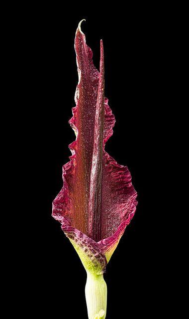 18 best images about flowers on pinterest devil the giants and jim o 39 rourke. Black Bedroom Furniture Sets. Home Design Ideas
