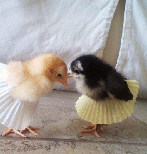Because baby chickens should wear cupcake sleeves as pleated skirts.
