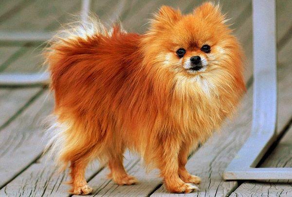 Pomerian Dog jus like my old one ;(