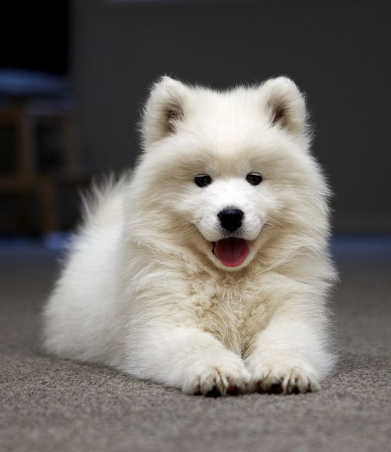 Samoyed.  I bet they shed like crazy.  Cute though.