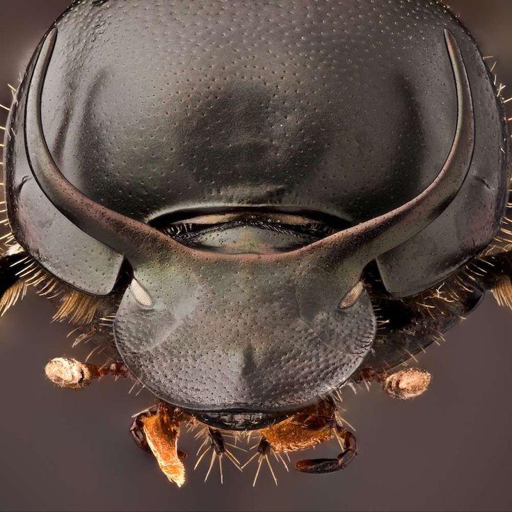 El Onthophagus taurus, más conocido como el escarabajo del Tauro, es oficialmente el animal más fuerte del mundo. En términos de peso corporal en relación al que es capaz de levantar supera a cualquier otro animal de la Tierra, ¡ya que es capaz de elevar 1.141 veces su peso corporal! #animal #fuerte #onthophagus #escarabajotauro #peso #cuerpo http://www.pandabuzz.com/es/animal-del-dia/escarabajo-taurus