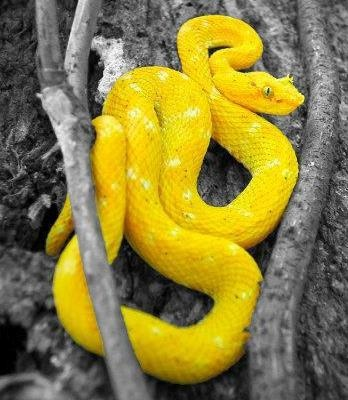 The eyelash viper is a mystery to the rain forest and is found throughout the world in banana shipments. This 18-30 inch snake is the smallest but the most dangerous snake in Costa Rica.