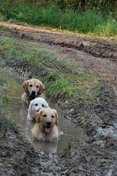 Ben quoi, les bains de boue, c'est bon pour la peau.... / Golden Retriever.