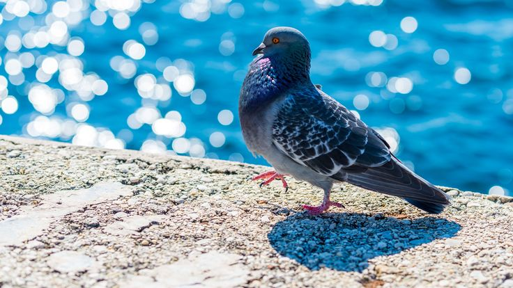 2017-03-27 - pigeon picture full hd, #1920384