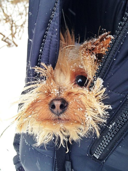 I know..I know most Yorkies are dare devils but hey what's a Yorkie to do when it's freezing outside? ♥