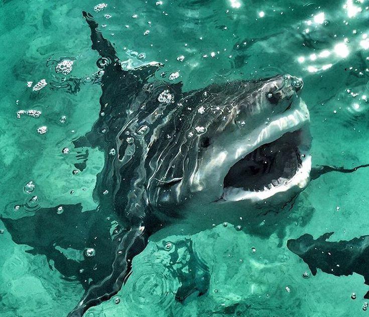 Bull shark                                                       …