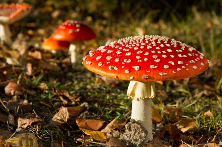 Amanita muscaria, o cogumelo alucinógeno Tem muscimol como sua principal substância psicoativa e baixa toxicidade, sendo letal apenas se consumido em grandes quantidades