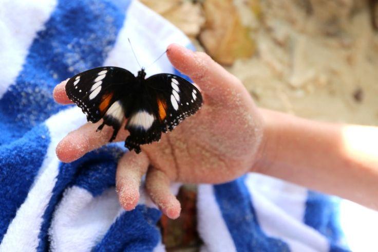 Butterflies on Fitzroy Island, Queensland, Australia