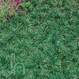 Dwarf mondo grass ground cover, weed prevention and erosion control. For slopes.